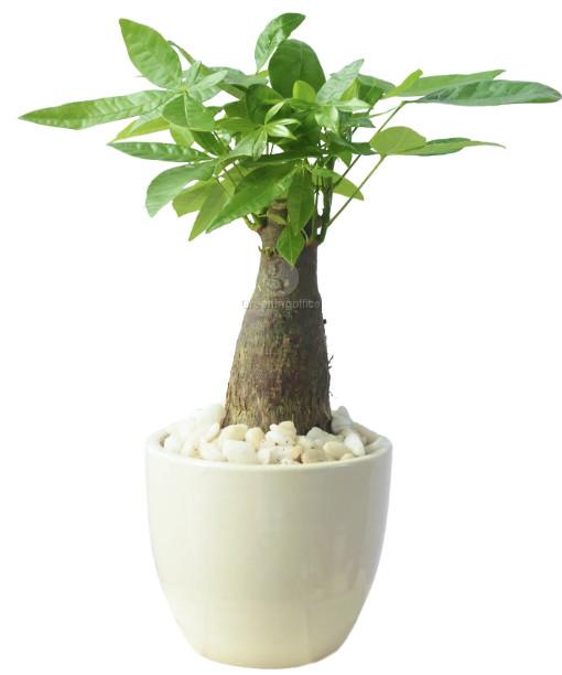 Cây trồng trong nhà không cần ánh sáng - Cây kim ngân