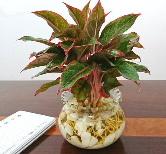 cây phú quý - các loại cây trồng trong nhà tốt nhất