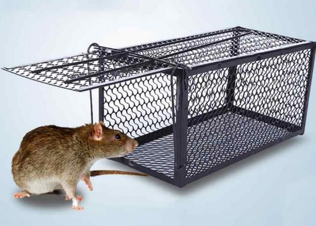 cách diệt chuột bằng bẫy lồng hiệu quả