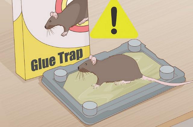 cách diệt chuột bằng keo bẫy chuột