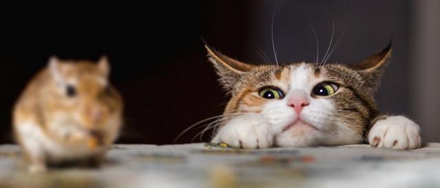 nuôi mèo giúp đuổi chuột hiệu quả