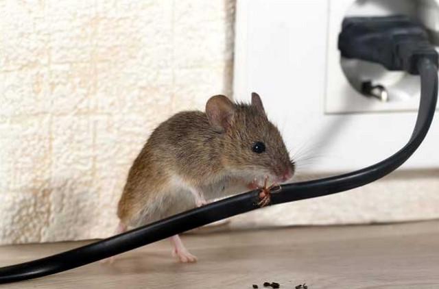 tác hại của chuột là gì